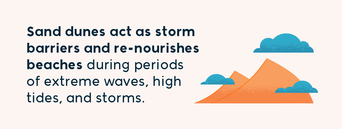 sand dunes act as storm barriers and re-nourishes beaches during periods of extreme waves, high tides, and storms.