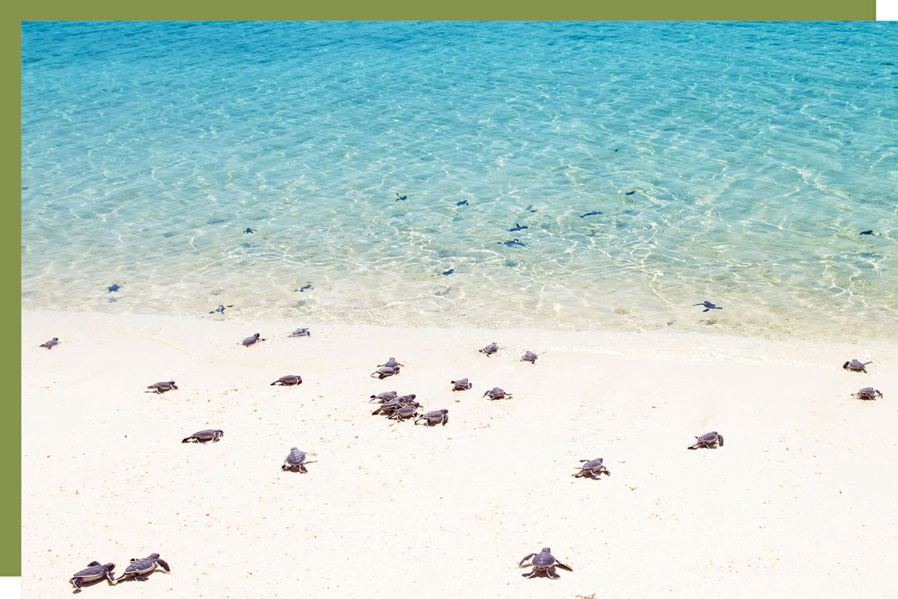 baby turtles going to shore