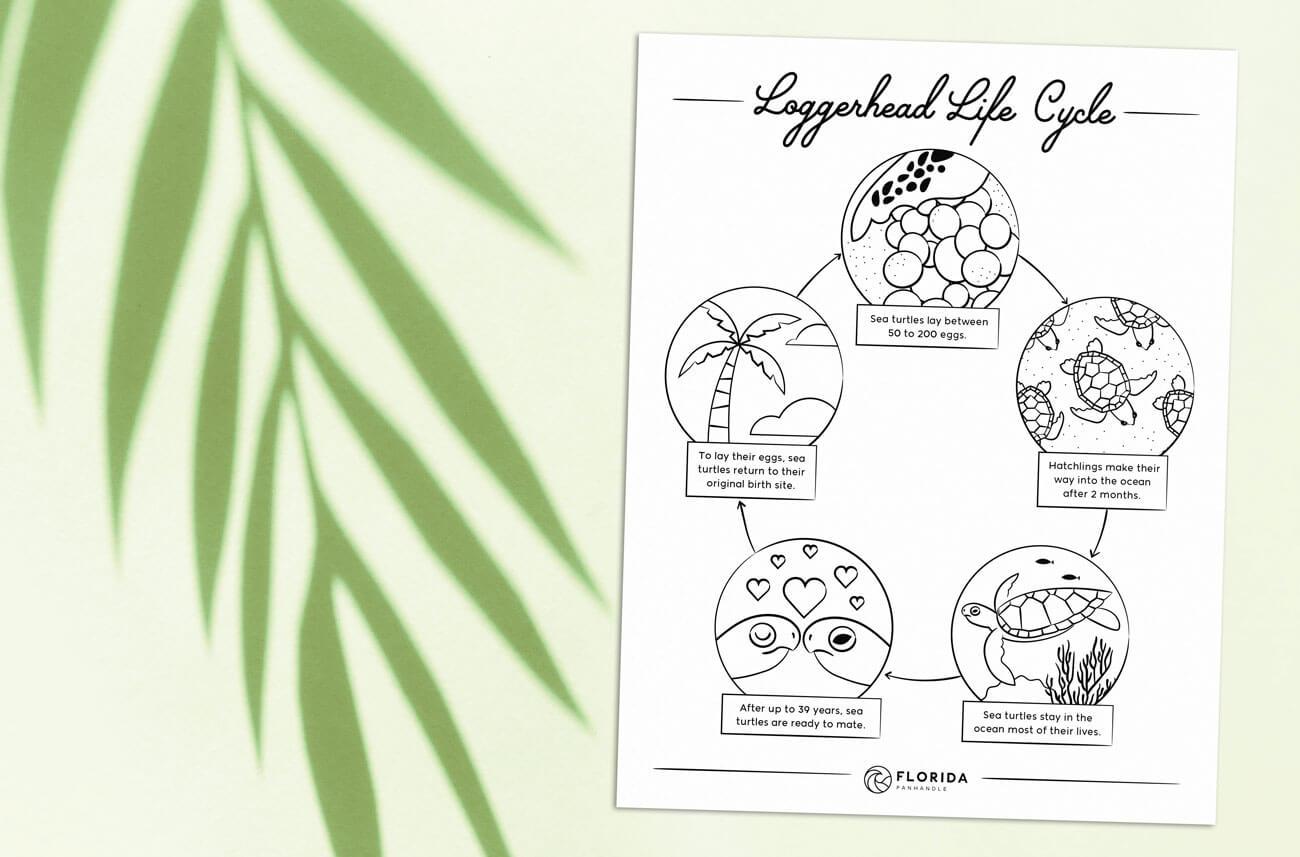 loggerhead life cycle coloring page